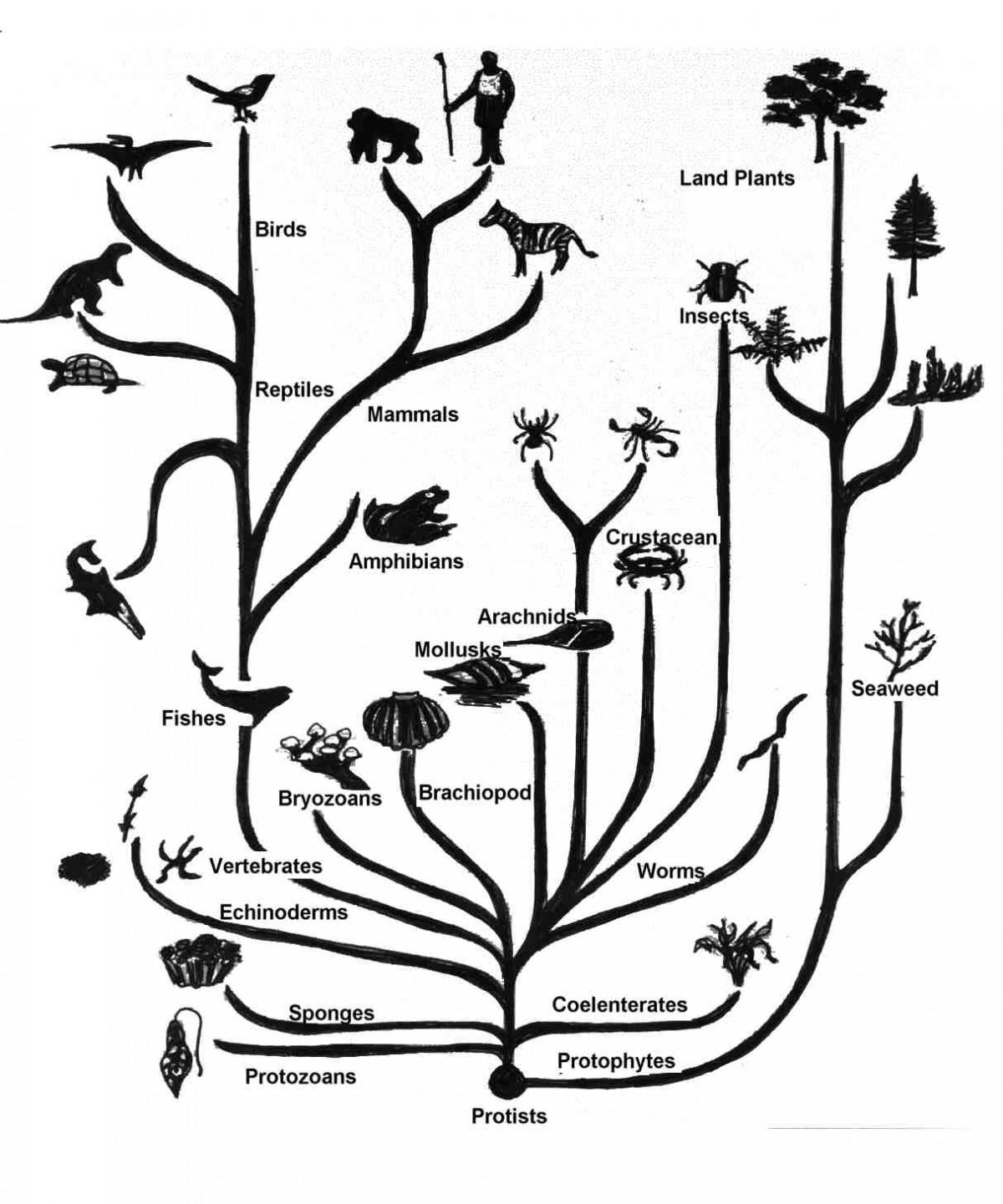 Tüm bu kademeleri kabaca ve çok üstü örtük bir biçimde gösteren bir Evrim Ağacı... Normalde, tabii ki Evrim Ağaçları çok daha karmaşık yapılıdır, çünkü böyle birkaç türü değil, milyarlarca türü barındırırlar. Ancak onları analiz etmesi de daha zordur. Aşağıda, karmaşık bir örneği vermekteyiz.