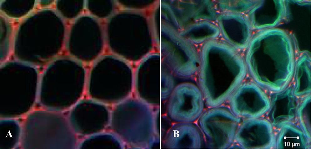 A kısmında normal hücreler, B kısmında ise şişmiş hücreler görülüyor.