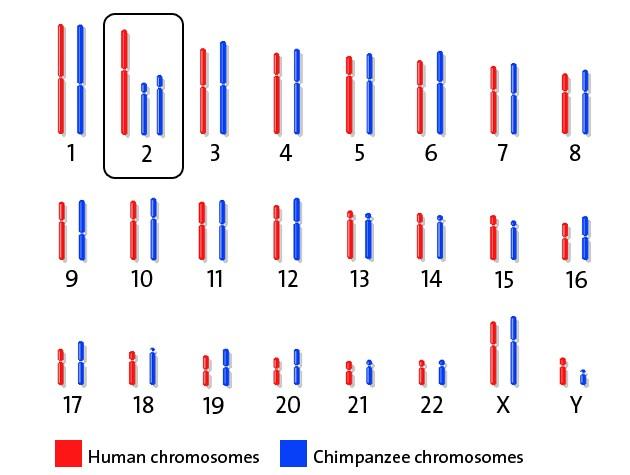 Karşılaştırma için insan ve şempanze kromozomları.