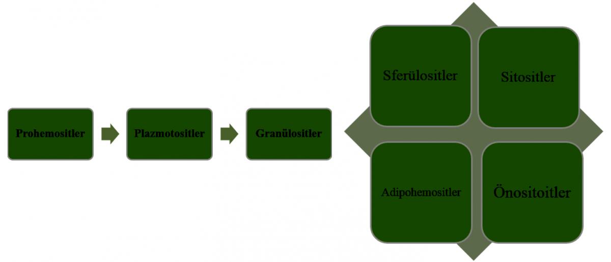 Prohemositler diğer hemosit tiplerine farklılaşabilirler. Ama özellikle granülositler ve plazmatositler bağışıklık sisteminde görev aldıkları için önemli hemosit tipleridir.
