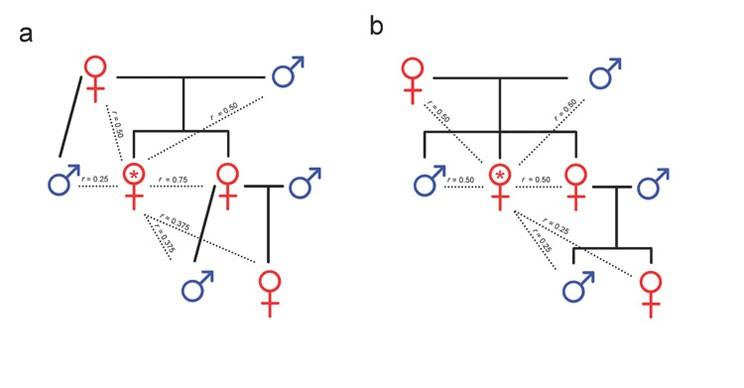 Şekil 3:Haplodiploit ve diploit türlerde akrabalık modelleriDişi bir bireyin (kırmızı yıldızla işaretli) akrabaları ile olan yakınlığını gösteren, annesinin yalnızca bir erkek bireyle (yani dişinin babasıyla) çiftleştiğini varsayarak hazırlanmış (a) haplodiploit ve (b) diploit aile ağaçları. Tekil çiftleşen haplodiploit türlerde dişiler, erkek kardeşlerine göre (r = 0,25) kız kardeşleri ile (r = 0,75) daha yakın akrabadırlar. Ayrıca kendi yeğenlerine olan akrabalık derecesi, haplodiploit dişilerde (r = 0,375, Şekil 1a), diploit dişilere göre (r = 0,25, Şekil 1b) daha fazladır. Ne var ki, pek çok haplodiploit türde (bal arısı da dahil) analar çokkocalıdırlar ve işçilerin çoğunun öz kardeş değil de üvey kız kardeş olduğu yavrular üretirler (r 0,25 ile 0,5 arasında; gerçek değer, ananın çiftleştiği erkek sayısına bağlıdır). Analar çok sayıda erkek ile çiftleştiğinde işçiler, üvey kız kardeşlerinin oğullarındansa (yeğenleri, r 0,125 ile 0,25 arasında) ananın oğullarına (kendilerinin erkek kardeşleri, r = 0,25) daha yakın akrabadırlar. Bu, işçilerin diğer işçileri denetlemeleri ve onların yumurtalarını yok etmeleri için teşvik oluşturur.