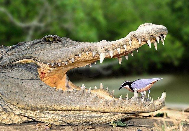 Etçil olan bir timsah ve dişleri...