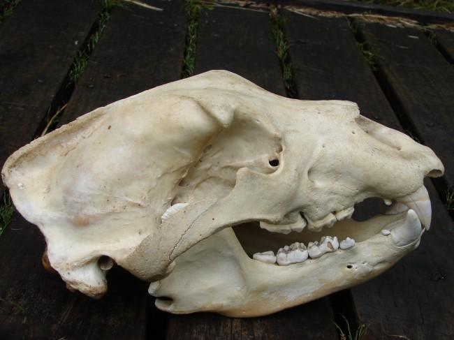 Omnivor (hepçil) bir hayvan olan boz ayı ve dişleri...