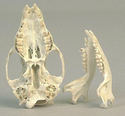 Omnivor bir hayvan türü olan kirpi ve dişleri...