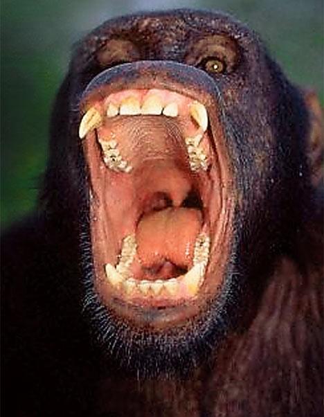 Omnivor bir hayvan olan şempanze ve dişleri...
