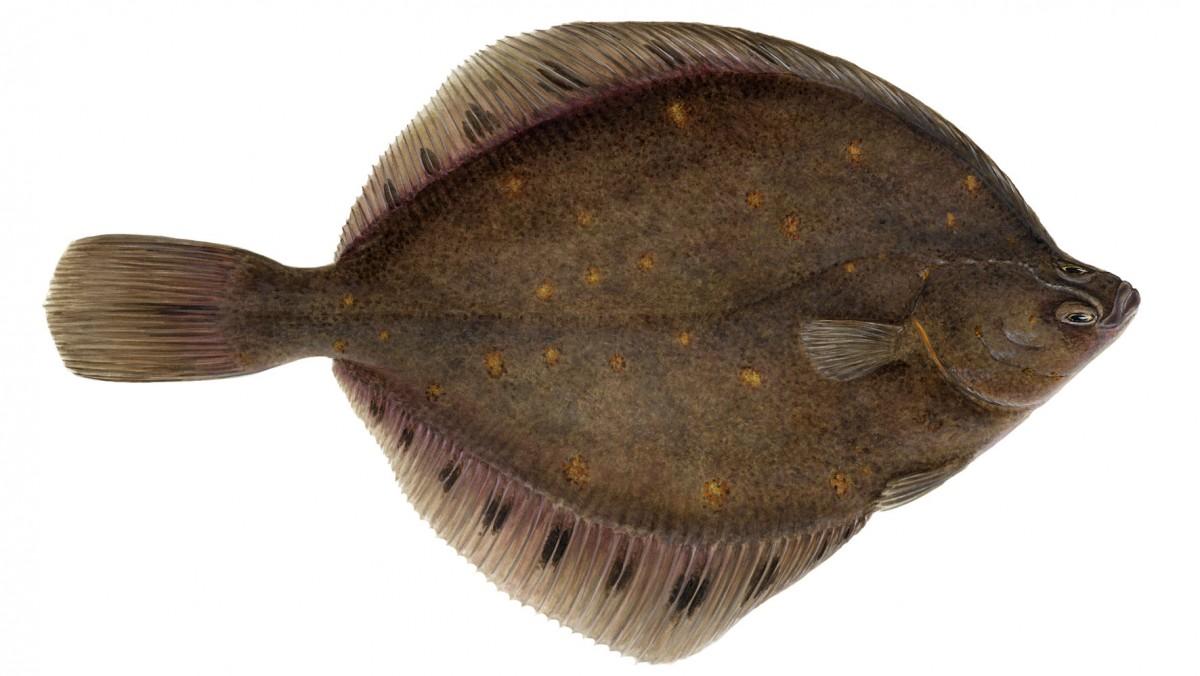 Dil balığı, Heteronectes gibi modern bir balıktır ve iki gözü de kafasının aynı tarafında bulunur.