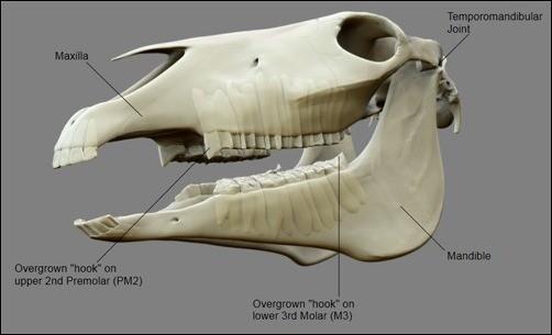 Herbivor (otçul) bir hayvan olan at ve dişleri...