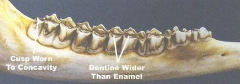 Otçul bir hayvan türü olan geyik ve dişleri...