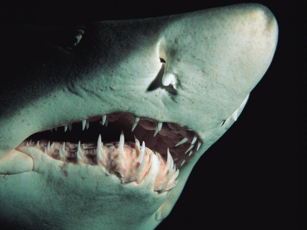 Etçil bir hayvan olan köpekbalığı ve dişleri...