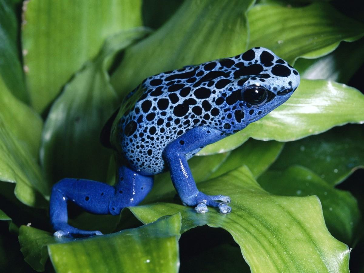 Etçil bir tür olmasına rağmen çenesi öyle uzun olmayan bir kurbağa...