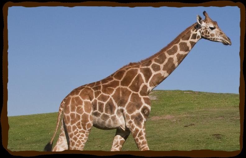 Otçul olmasına rağmen oldukça uzun bir çeneye sahip olan zürafa...