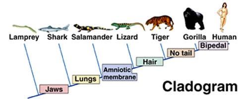 Örneğin bu Evrim Ağacı'nda, çenesiz balıklarla çeneli balıkları birbirinden ayıran özellik, ismin de vurguladığı gibi