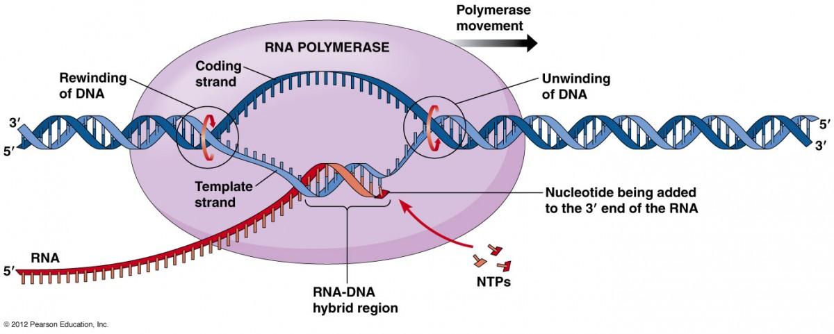 RNA Polimeraz Enzimi'nin çalışması...