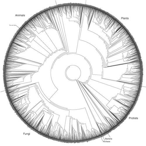 Bu Evrim Ağacı'nı okumak biraz daha karmaşıktır ve bu boyuttayken hemen hemen hiçbir şey gözükmez. Ancak bunu alır da A0 boyutundaki bir kağıda, yüksek çözünürlükte basarsanız, bütün ayrıntıları çok daha rahat görebilirsiniz. Bu ağacı devasa boyutlarıyla buraya tıklayarak inceleyebilirsiniz. Türlerin isimlerini görmek için PDF dosyasına yakınlaşmayı (zoom yapmayı) unutmayınız.
