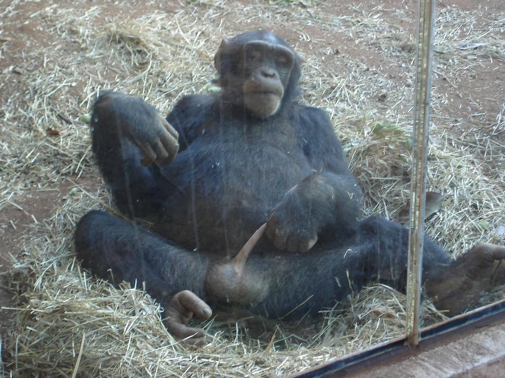 Mastürbasyon yapan bir şempanze