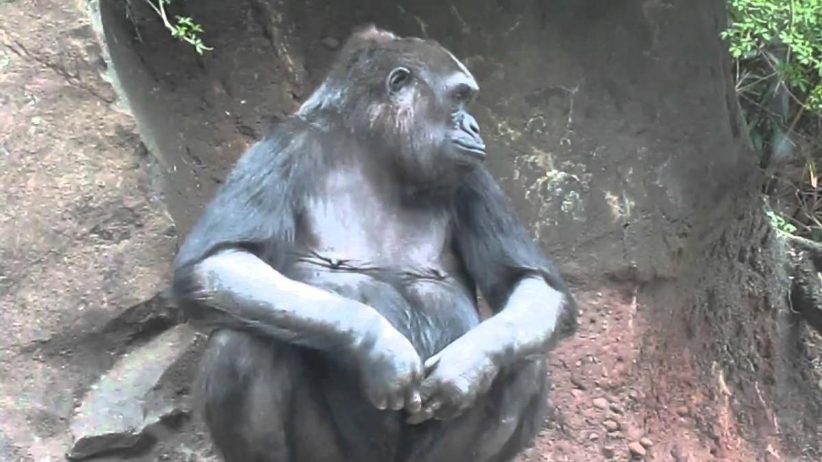 Dişi goriller parmaklarıyla mastürbasyon yaparlar.