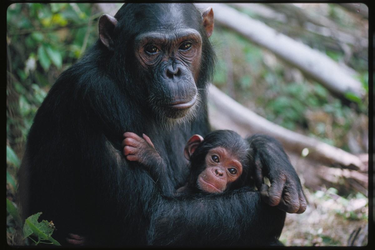 İnsanların yetişkinleri de, yavruları da diğer maymunların yavrularına daha fazla benzer. Diğer maymun türlerinde yetişkinliğe geçildikçe fiziksel özellikler ciddi anlamda değişir; ancak insanda, göreceli olarak bu çok daha azdır. Dolayısıyla insan evriminde heterokroni denen bir evrimsel adaptasyon yaşanmış olabilir: bizlerin genlerinde, gelişimimizi yavaşlatan bir mutasyon meydana gelmiş olabilir ve bu sebeple yetişkin insanlar, yavru insanların sadece büyük birer kopyası gibi gözükürler, diğer maymunlarda olana kıyasla çok fazla fiziksel değişim yaşamazlar.