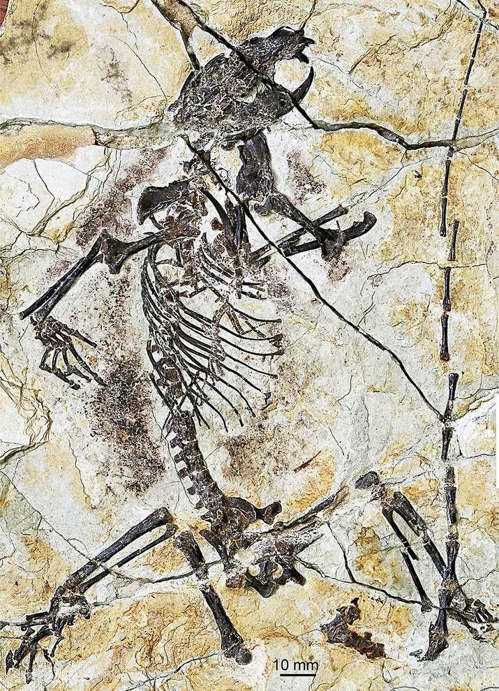 Yeni bulunan haramiyid fosili; tür adı: Shenshou lui...