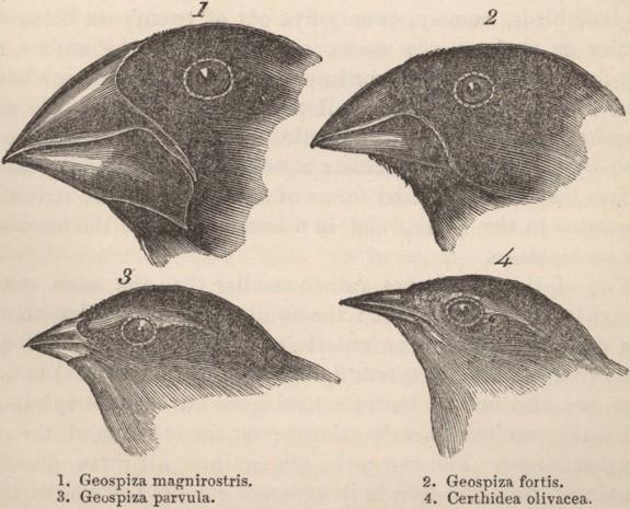 Şekil 2: Darwin'in ispinoz kuşları.
