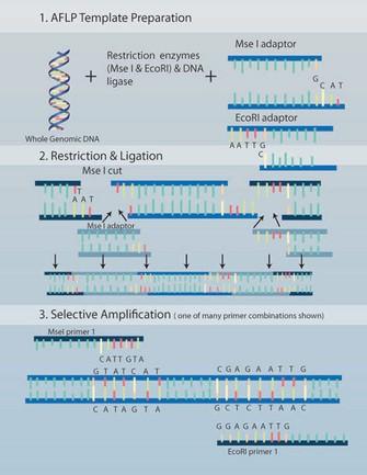 Şekil 4: Çoğaltılmış parça uzunluk polimorfizmleri AFLP'ler.