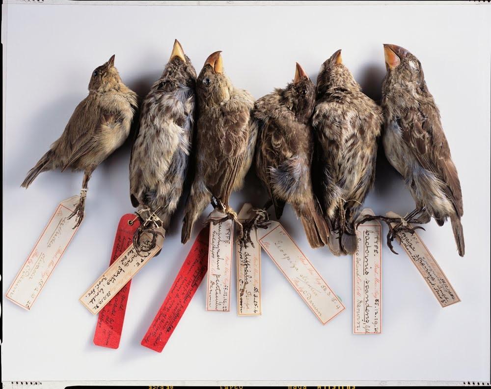 Darwin'in doğal seçilimi keşfetmesinde büyük rol oynayan ispinozlar...