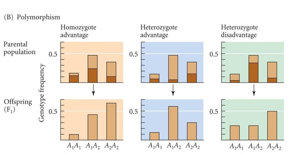 Farklı genotiplerin farklı uyum başarılarından doğan evrimsel değişimler...