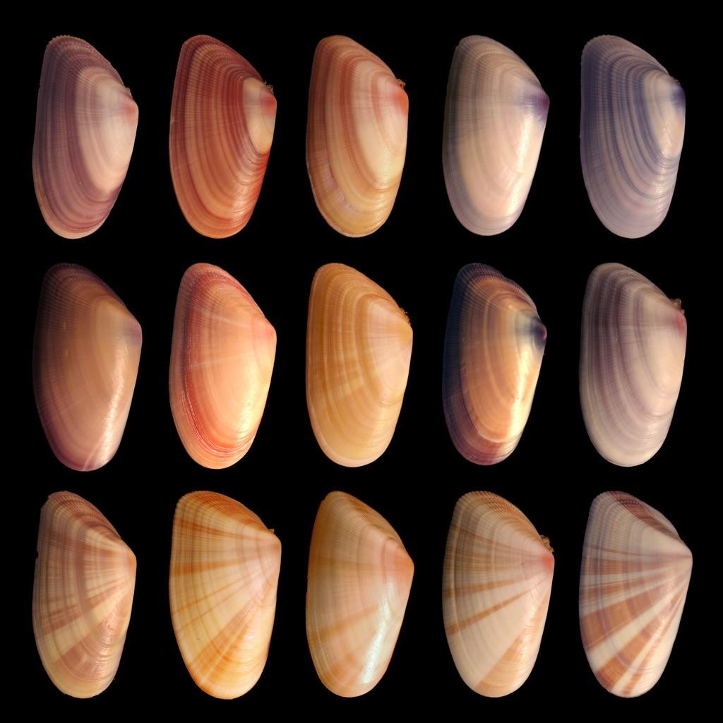 Donax variabilis isimli bu tür içerisindeki çeşitlilik de net olarak görülebilmektedir. Bir araştırmacı veya konunun uzmanı, ayrıntılı bir inceleme yaparak kabuklar arasında yüzlerce farklılık tespit edebilir: çizgilerin kalınlığı, çizgilerin dağılımı, çizgilerin açısı, kabuk kalınlığı, kabuk içi elementler, çizgiler arası uzaklık ve daha nicesi...