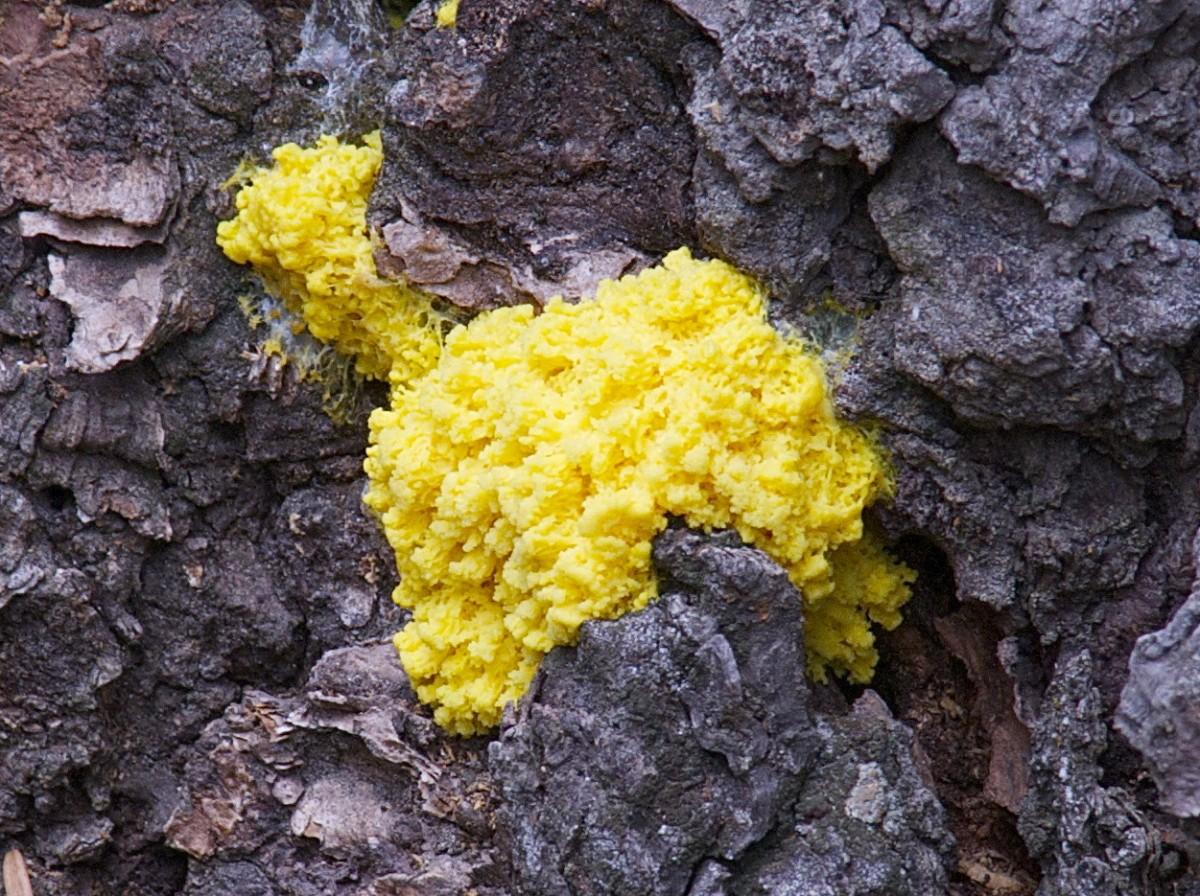 Deneyde kullanılan cıvık mantar,Physarum polycephalum