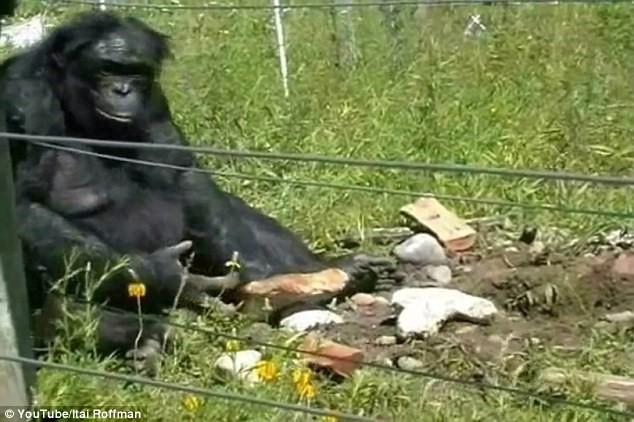 Kanzi adındaki bu bonobo, önündeki taşı alıp başka bir taşı da kullanarak daha sonra alet olarak kullanmak üzere keskin kırık parçaları oluşturdu. Yeni araştırmaya göre bu davranış düşünülenden daha yaygın olabilir.