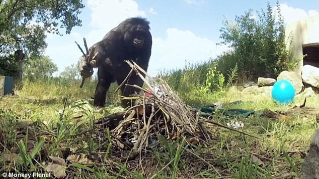 Görselde de görülebileceği gibi, Kanzi gibi bonobolar kibrit kullanarak nasıl ateş yakılabileceğini de öğrendiler.