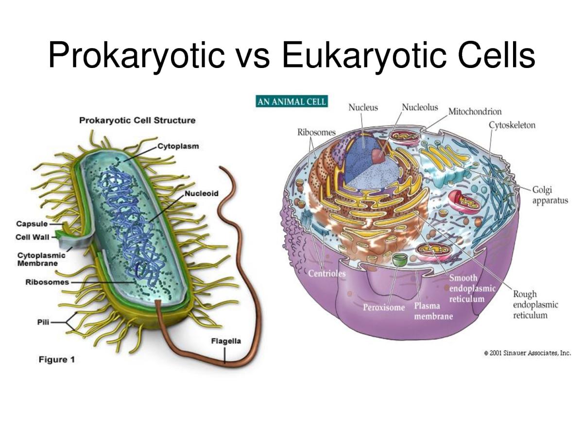 Prokaryot ve ökaryot hücrelere birer örnek..