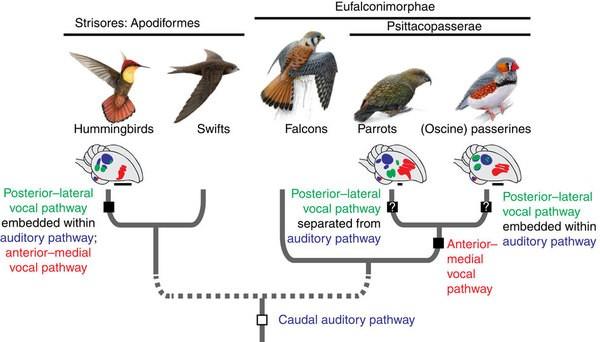 Sinekkuşlarının (en solda) en yakın akrabası kılıç kırlangıçlarıdır. Bu evrimsel analiz, Dünya'nın 1 numaralı makale dergisi olan Nature'da yayımlanmıştır.