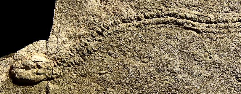 Bu iz fosilinde bir trilobit fotoğrafın sağ tarafından yürümeye başlamış ve en sol tarafında durarak orada oturmuştur. Bu hareketinin tüm basamakları fosil kaydına işlenmiştir. Kaynak:NASA Astrobiology