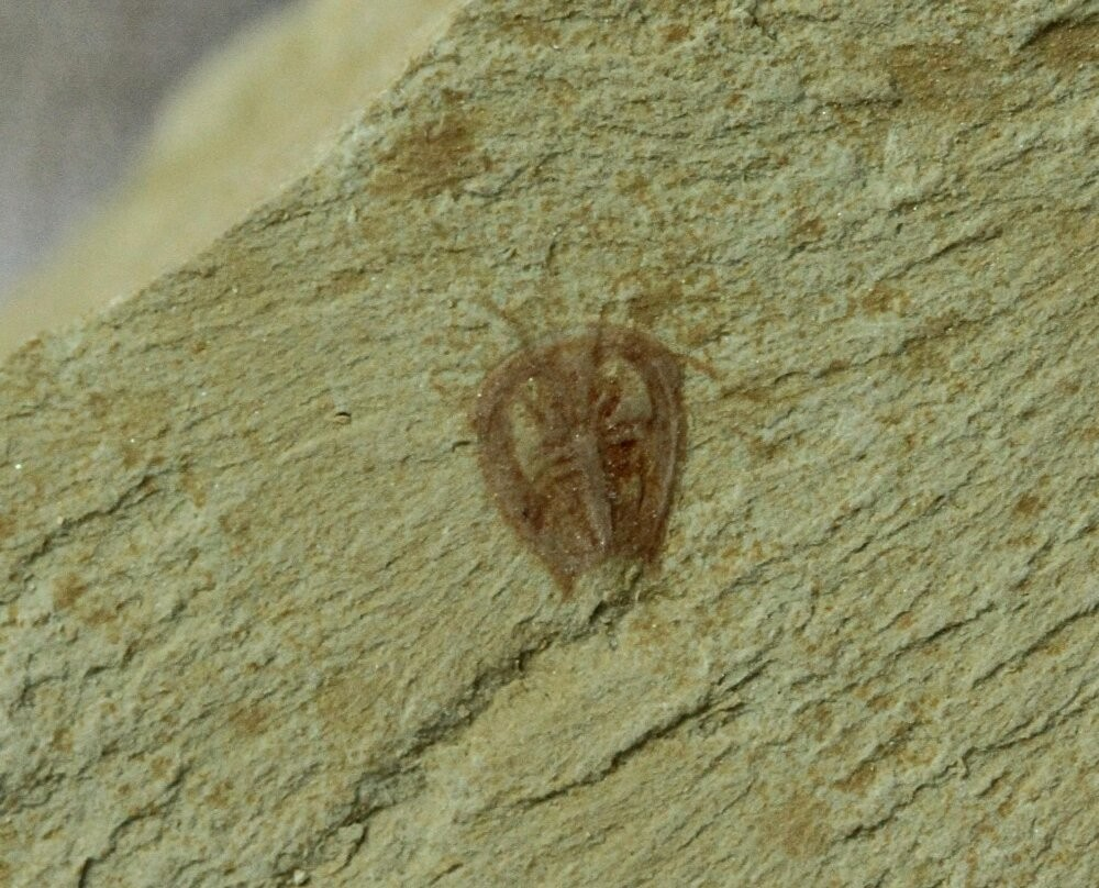 Primicaris larvaformis Kaynak:FossilMall