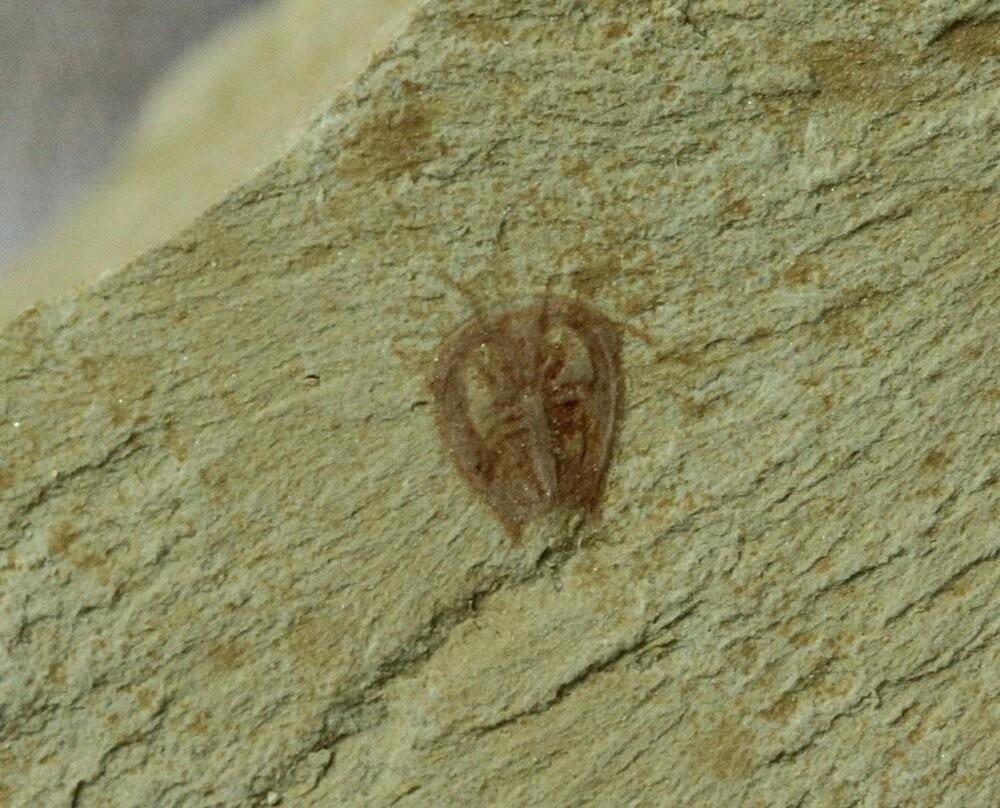 Primicaris larvaformis
