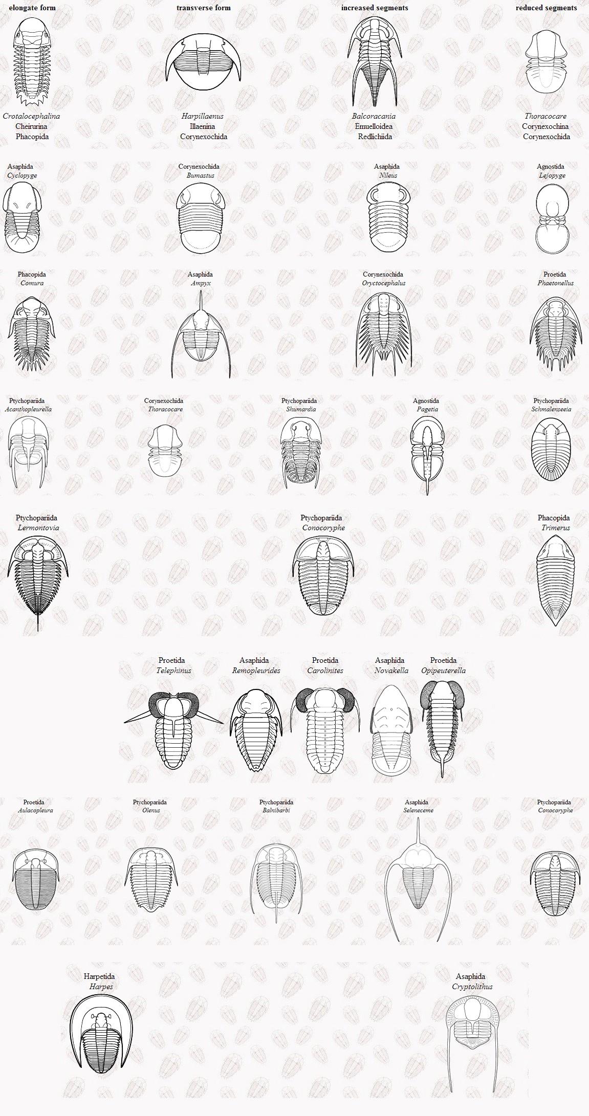 Birbirinden farklı trilobit vücut planlarına örnekler...