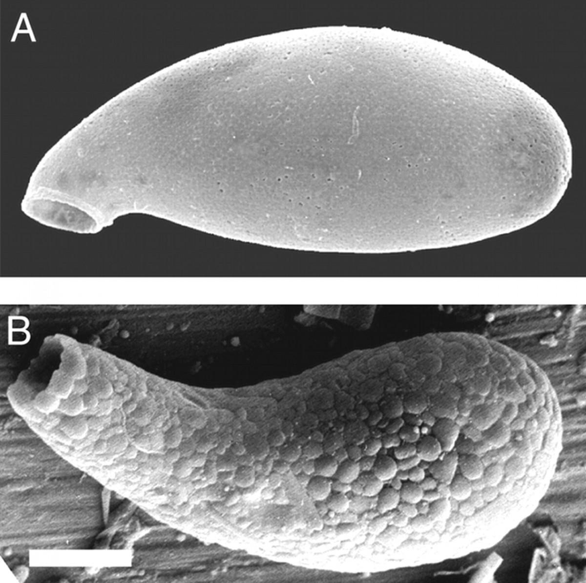 Mikroskobik düzeyde de olsa 1200 milyon yıl öncesinden itibaren canlılar giderek karmaşıklaşmaya başlamıştı. Fotoğrafta, 750 milyon yıl önce yaşamış bir testat amip gözüküyor. Bu amipler, gruplarının en karmaşık yapılı canlılarından birisidir.