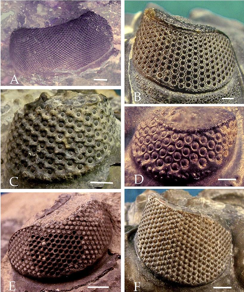 Görselde farklı holokroal trilobit göz türleri gösterilmektedir. Tam da beklendiği gibi, yine, bu göz yapısı içerisinde bile kademeli bir evrimsel değişim görülmektedir. Yani tüm holokroal gözler de aynı değildir; evrimsel bir süreklilik içerisinde oluşmuşlardır. A ile işaretlenen Tellum mussai türüne ait holokroal gözdür. B ile işaretlenen, Hollardops mesocristata türüne ait sağ gözdür ve altıgen yapılı lensler diğerlerine kıyasla çok daha net görülebilmektedir. C ile işaretlenen görselde Drotops armatus türünün sol gözü görülmektedir. Dikkat edilebileceği gibi daha ufak lensler, daha uzak aralıklarla gelişmiştir ve skleral girintiler altıgen yapılı desenlerle çevrelenmektedir. D ile işaretlenense Phacops tafilatensis türünün sol gözüdür. C'dekinin aksine bunda lensler daha az sayıda ve daha uzak olacak şekilde konumlanmıştır. E'de Odontochile (Zlichovaspis) rugosa türüne ait sol göz görülmektedir. Bu göz yapısının fosilinde gözler yerlerinden çıkmıştır ve bu sebeple arkalarında boşluklar bırakmıştır. F'de ise Coltraneia oufatenensis türünün sağ gözü görülmektedir ve bu ilgi çekici örnekte kalsit yapılı lenslerin skleranın da üzerinde olduğu ve yarı saydam oldukları görülmektedir. Yani holokroal gözler bile kendi içerisinde geniş bir varyasyona sahiptir. Bu geniş varyasyon, bariz bir evrimin habercisidir. Eğer ki yüksek varyasyon varsa, evrimin etki edebileceği çok daha fazla malzeme var demektir ve farklı türlerin evrimi çok daha kaçınılmaz olur.