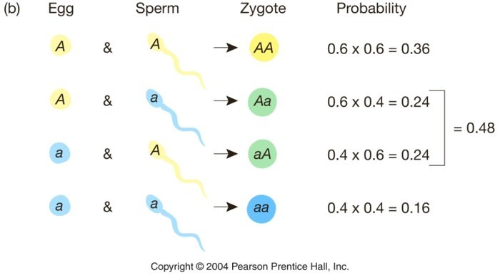 p = 0.6 q = 0.4 Bu koşullarda başlayan popülasyondan doğabilecek zigotların genotip frekansları...