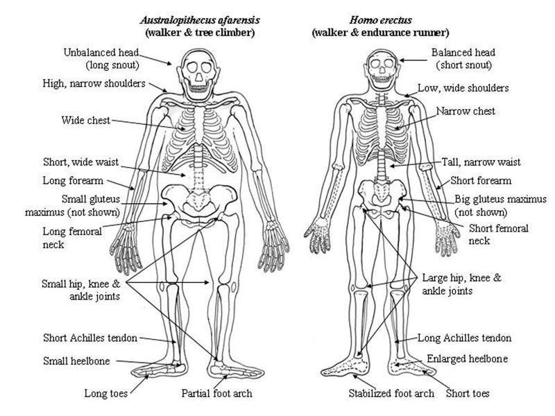 Yürüme ve ağaç yaşamına adapte olmuş sayılabilecek Australopithecus afarensis ile uzun mesafe koşucusu Homo erectus iskeleti arasındaki farklar