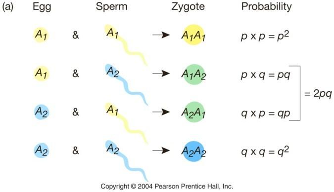 Hardy-Weinberg Dengesi'nin Sembolik Gösterimi...