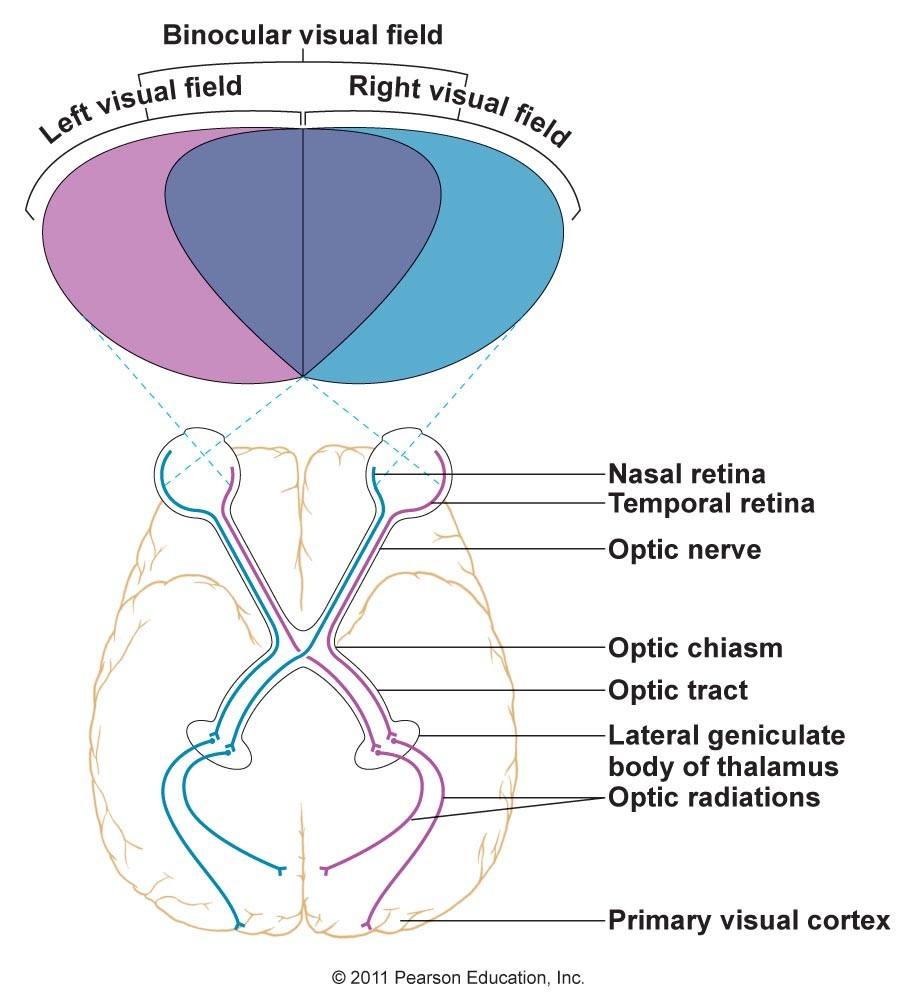 Göz bebeğinden geçen ışığın kırılmasından ötürü, sağ taraftan gelen görsel veri iki gözümüzün de sol tarafına düşer. Sol taraftan gelen veriler ise iki gözümüzün de sağ tarafına düşer. Ancak beynimizin sol taraftan gelen verileri sol tarafta, sağ taraftan gelen verileri sağ tarafta işleyebilmesi için, bir sinir çaprazlanması olması gerekmektedir. Bu, optik kiyazma adı verilen bir noktada gerçekleşir. Böylece gözün sol tarafına düşen veriler beynin sol tarafına, sağ tarafına düşen veriler ise beynin sağ tarafına iletilebilir. Bu, en hızlı veri işlemeyi mümkün kılmaktadır.