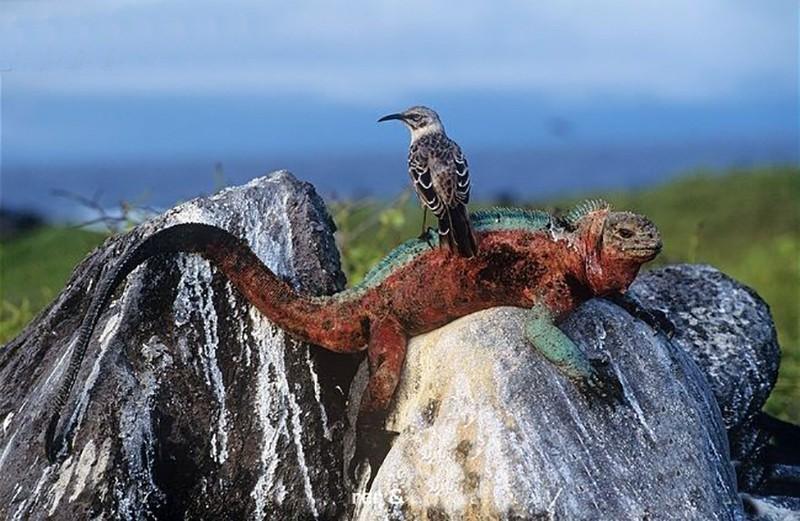 Galapagos kayalarında bir iguana, alaycı kuş ile birlikte...
