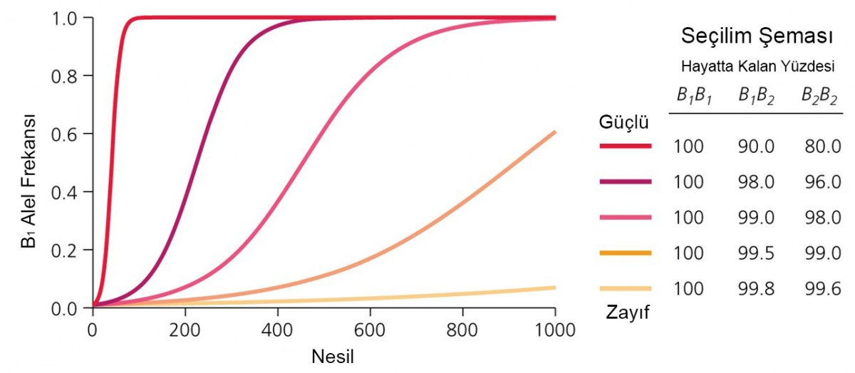 Grafikten de görülebileceği gibi, sağ tarafta farklı şiddetlerdeki seçilim baskısı ve buna bağlı olarak genotiplerin hayatta kalma başarıları gösteriliyor. Örneğin en üstte bulunan en güçlü seçilim baskısı altında, bir sonraki nesilde B1B1 genotipinin %100'ü hayatta kalırken, B1B2 genotipinin %90'ı hayatta kalıyor. B2B2'nin ise sadece %80'i... Buna bağlı olarak farklı şiddetteki seçilim baskılarını farklı renklerde gösteren soldaki grafikte, değişim hızları görülüyor. Eğer ki seçilim baskısı çok şiddetliyse, sol taraftaki koyu kırmızıyla gösterilen gibi aşırı hızlı bir değişim görülüyor ve sadece 100 nesilde bile alel frekansları devasa biçimde değişiyor. Ancak seçilim baskısı azaldıkça, her ne kadar yine S şeklinde bir grafik görsek de, alellerin sabitlenmesi çok daha uzun bir süre alıyor. İşte buna bağlı olarak farklı evrim hızlarından söz edebiliyoruz. Konuyla ilgili olarak
