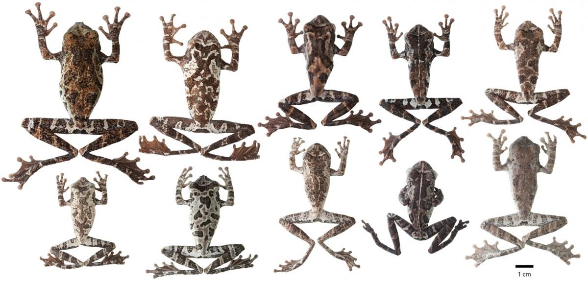 """Evrimsel biyologlar her değişimi """"evrim"""" olarak nitelemezler. Farklı her canlıyı da ayrı türler olarak belirlemezler. Eğer ki evrimsel biyologlar, iddia edildiği gibi """"art niyetli"""" insanlar olsalardı, çok daha fazla türleşme örneği iddia edebilirlerdi. Ancak bilim, şahsi hırslardan bağımsızdır. Örneğin, yukarıdaki kurbağaların hepsi, birbirinden tamamen farklı gözükseler de, aynı türe aittir. Bu çeşitlilik, evrimin ilk adımıdır. Bu farklılık içerisinden en başarılı olanlar seçilir ve popülasyondaki sayıları giderek artar. Eğer birden fazla bölgede, birbirinden farklı özellikler avantajlıysa, bu iki ayrı coğrafyada iki ayrı tür evrimleşir. Buna, türleşme deriz."""
