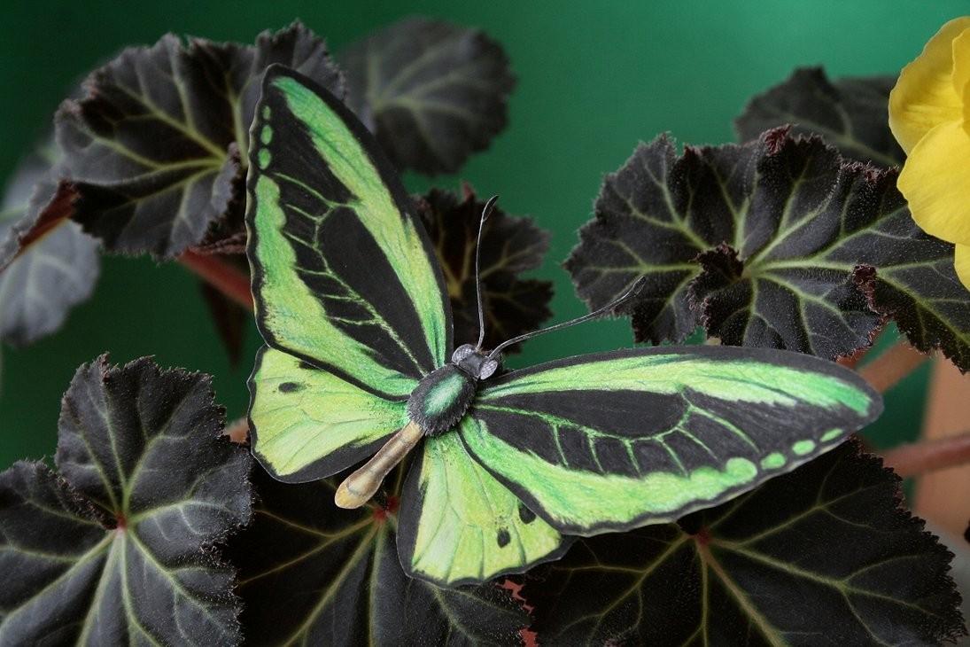 Ornithoptera poseidon