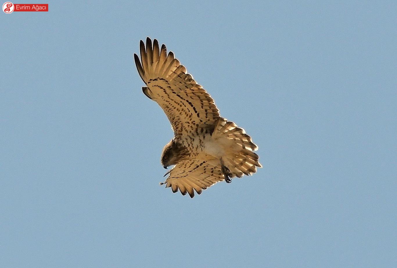 Havada olduğu yerde asılı durabilen ender yırtıcı kuşlardandırlar. Beypazarı'nda denk geldik.