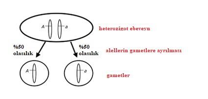 Görsel 1. Mendel'in Ayrılma Yasası