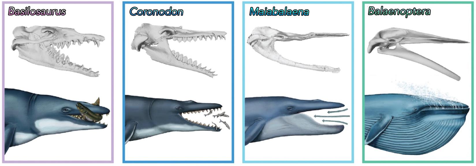 Dişsiz balinaların ağız yapılarının evrimsel süreci. Boyutlar gerçeği yansıtmamaktadır.
