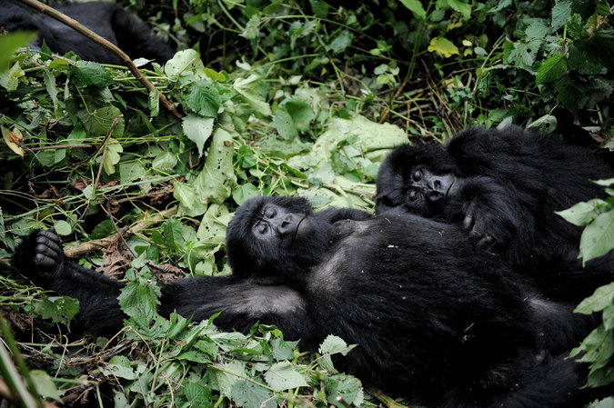 Görsel 2. Birçok dişi dağ gorili aynı baskın erkekle çiftleşir. Bu bazen zevk için, bazen de gruptaki diğer dişilerin gebe kalmasını engellemek içindir.